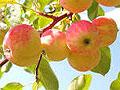 Британские ученые установили исключительную пользу яблок для здоровья