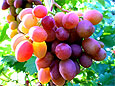 Виноград снижает давление