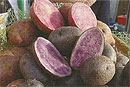 Белорусские селекционеры вывели красно-фиолетовую картошку