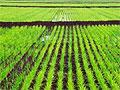 Засуха и спрос сподвигли фермеров Италии выращивать коноплю