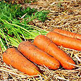 Как правильно хранить морковь?
