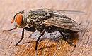 Комнатные и мясные мухи – переносчики большего числа возбудителей заболеваний