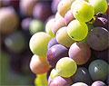 Почему виноград противостоит раку толстой кишки
