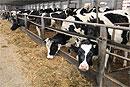 В Московской области 15 ветхих молочных ферм модернизируют в 2018 году