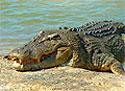 Доисторический крокодил мог глотать людей целиком