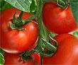 Употребление помидоров является профилактикой и предупреждением инфаркта миокарда и онкологии