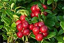 Медики назвали ягоду, которая способна заменить антибиотик