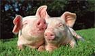 Почему свинина может вызывать отвращение?