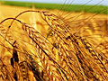 Современная пшеница – яд