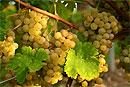 Виноград полезен для людей с болезнями сердца