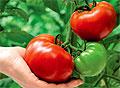 Полезные томаты