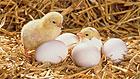 На птицефабрике в Брянской области сгорели 600 тысяч цыплят