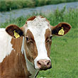 Ученые научились определять, чем кормили корову производители мяса