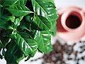 Кофейный чай - самый полезный горячий напиток на свете