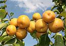 Ученые нашли чудо-фрукт, который спасает от последствий алкоголя