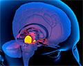 Построена «вкусовая карта» головного мозга