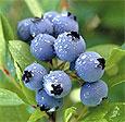 Ученые назвали ягоду, продлевающую жизнь