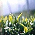Зелёный чай может стать основой для противоракового лекарства