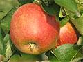 Снизить давление поможет яблочная кожура