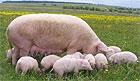 В Латвии новый случай инфицирования домашних свиней