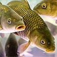 Рыбные запасы Европы могут быть уничтожены к середине века
