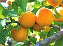 Назван самый полезный фрукт для здоровья и долголетия
