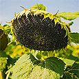 Семена подсолнуха могут содержать опасный для здоровья токсин