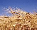 Треть зерна в России опасна для здоровья