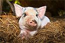 Ученым удалось пересадить поджелудочную железу свиньи человеку