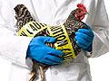В Италии новая вспышка птичьего гриппа