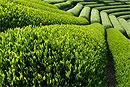 Как обезвредить зелёный чай