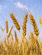 Ученые разработали безглютеновый вариант пшеницы, защищающий от развития целиакии