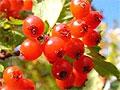 Чай из ягод боярышника поможет уснуть